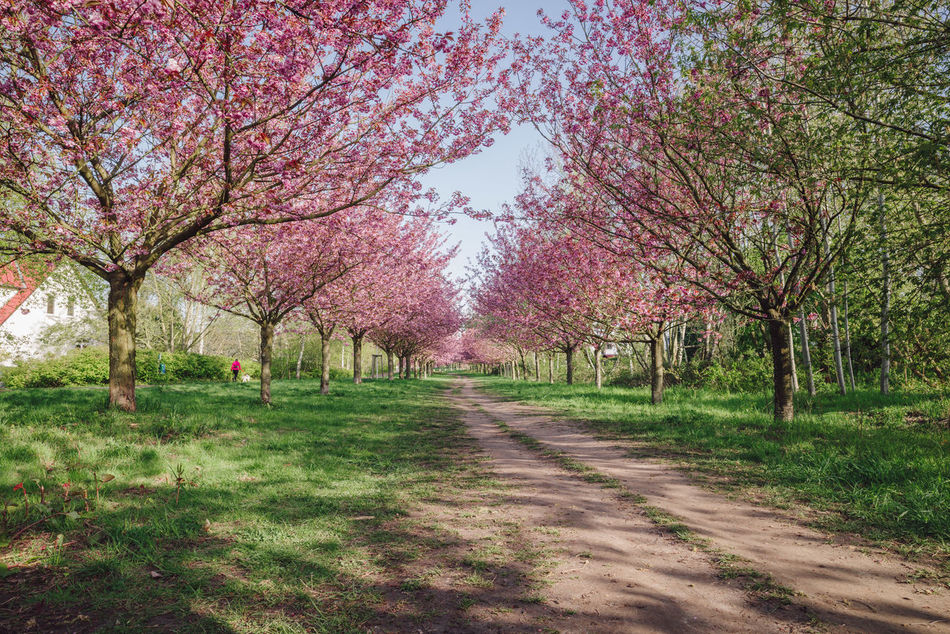 pink japanese cherry tree blossoms against blue sky Beauty In Nature Blossom Blue Sky Branch Copy Space Day Flower Green Grass Growth Japanese Cherry Blossom Tree Japanese Cherry Blossoms Japanese Cherry Tree. Landscape Nature No People Outdoors Pink Blossoms Scenics Spring Spring 2017 Spring Flowers Springtime Tranquil Scene Tranquility Tree