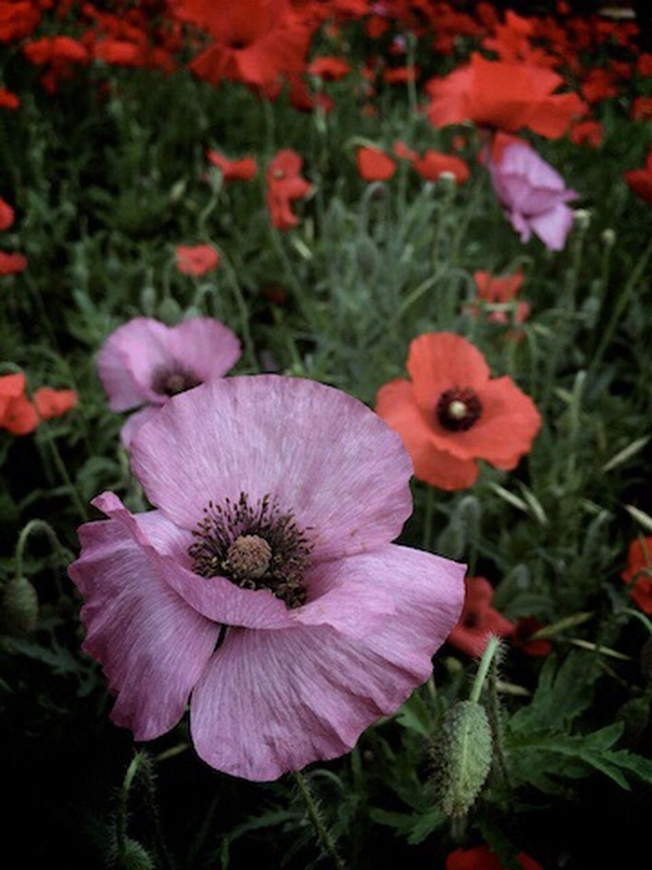 Flower IPhoneography Klmfoto Tnkarts Poppies Blooming Texas Nature Photography