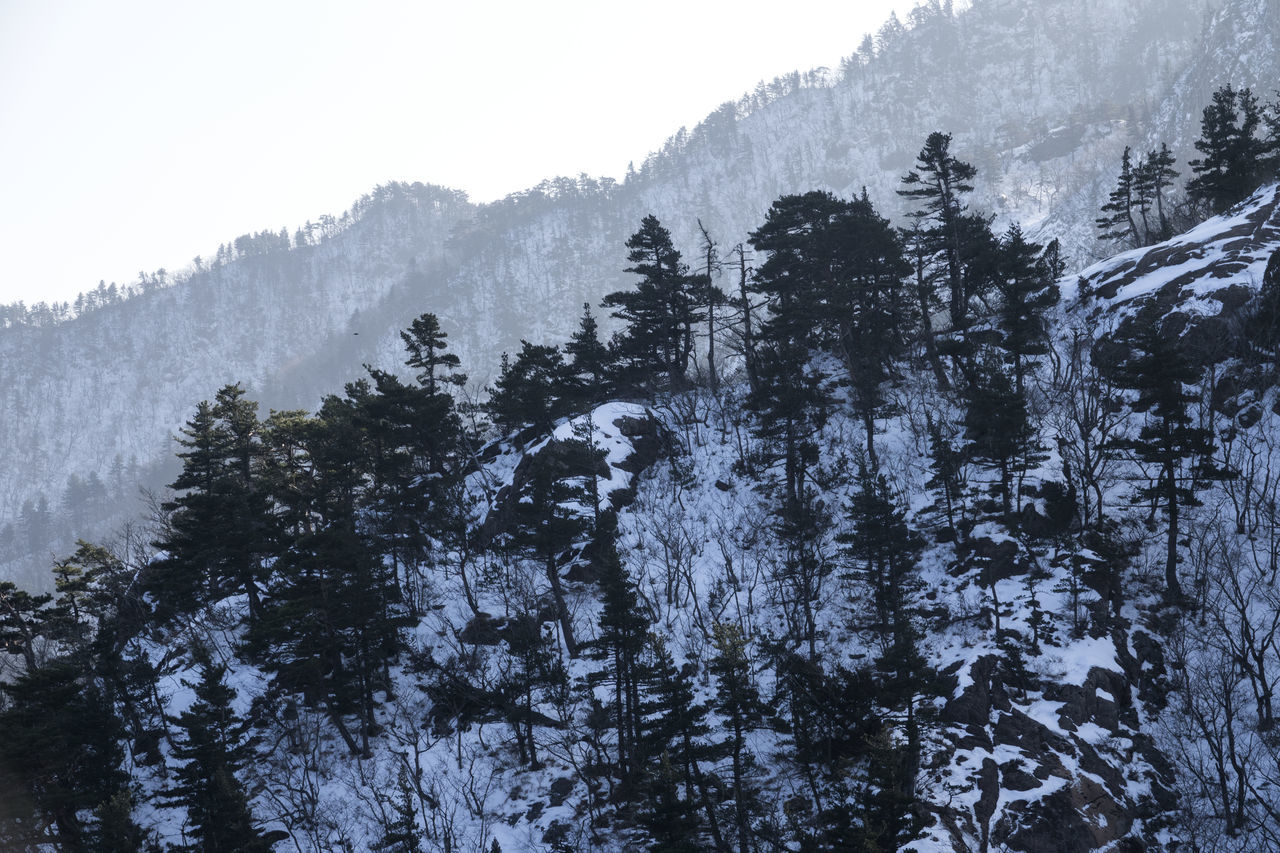 Winter in Mountain Seorak, South Korea Beauty In Nature Branch Cold Cold Temperature Day Forest Growth Low Angle View Mountain Nature No People Outdoors Pine Tree Pine Woodland Rock Rocky Seoraksan Seoraksan National Park Sky Snow Tranquility Tranquility Tree Winter Winter