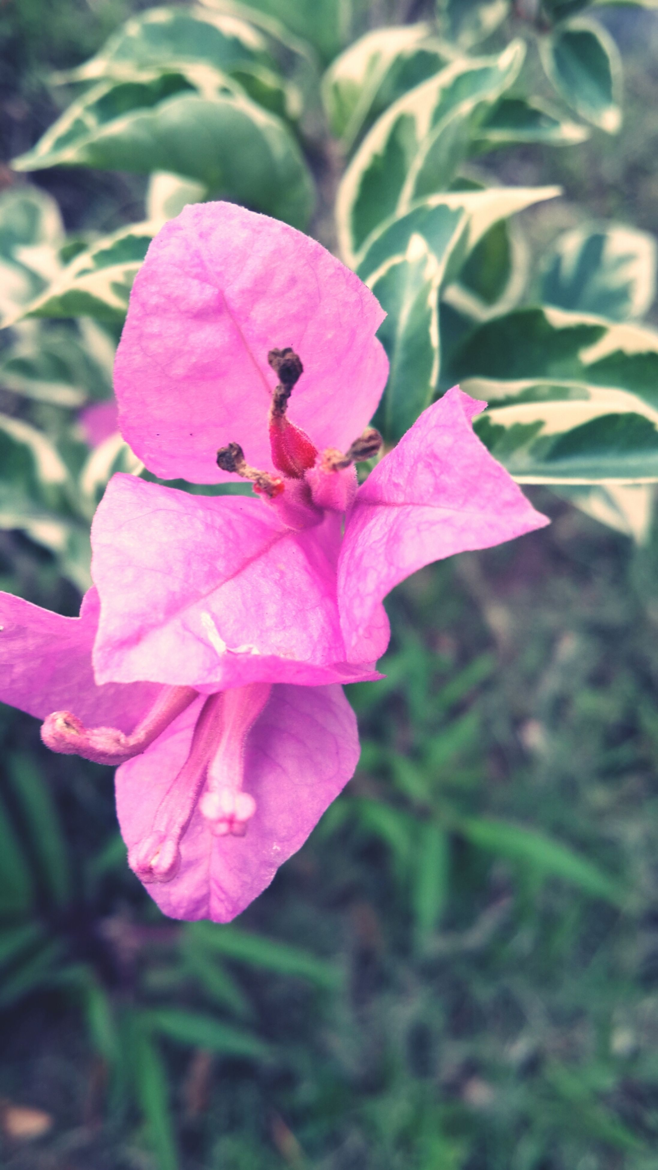 flower, freshness, petal, fragility, flower head, growth, beauty in nature, pink color, close-up, nature, focus on foreground, stamen, blooming, plant, in bloom, leaf, pollen, day, outdoors, no people
