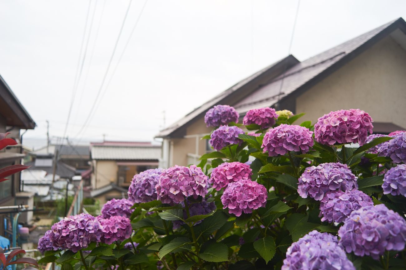 Flower Building Exterior Fragility Built Structure Architecture Pink Color Day Freshness No People Outdoors Nature Growth Focus On Foreground Beauty In Nature Clear Sky Close-up Flower Head Hydrangea Nature EyeEm Nature Lover