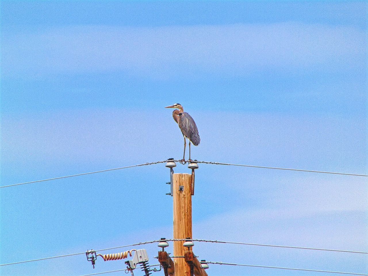 bird, animals in the wild, perching, animal themes, one animal, animal wildlife, cable, low angle view, day, no people, outdoors, nature, wooden post, gray heron, electricity pylon, sky