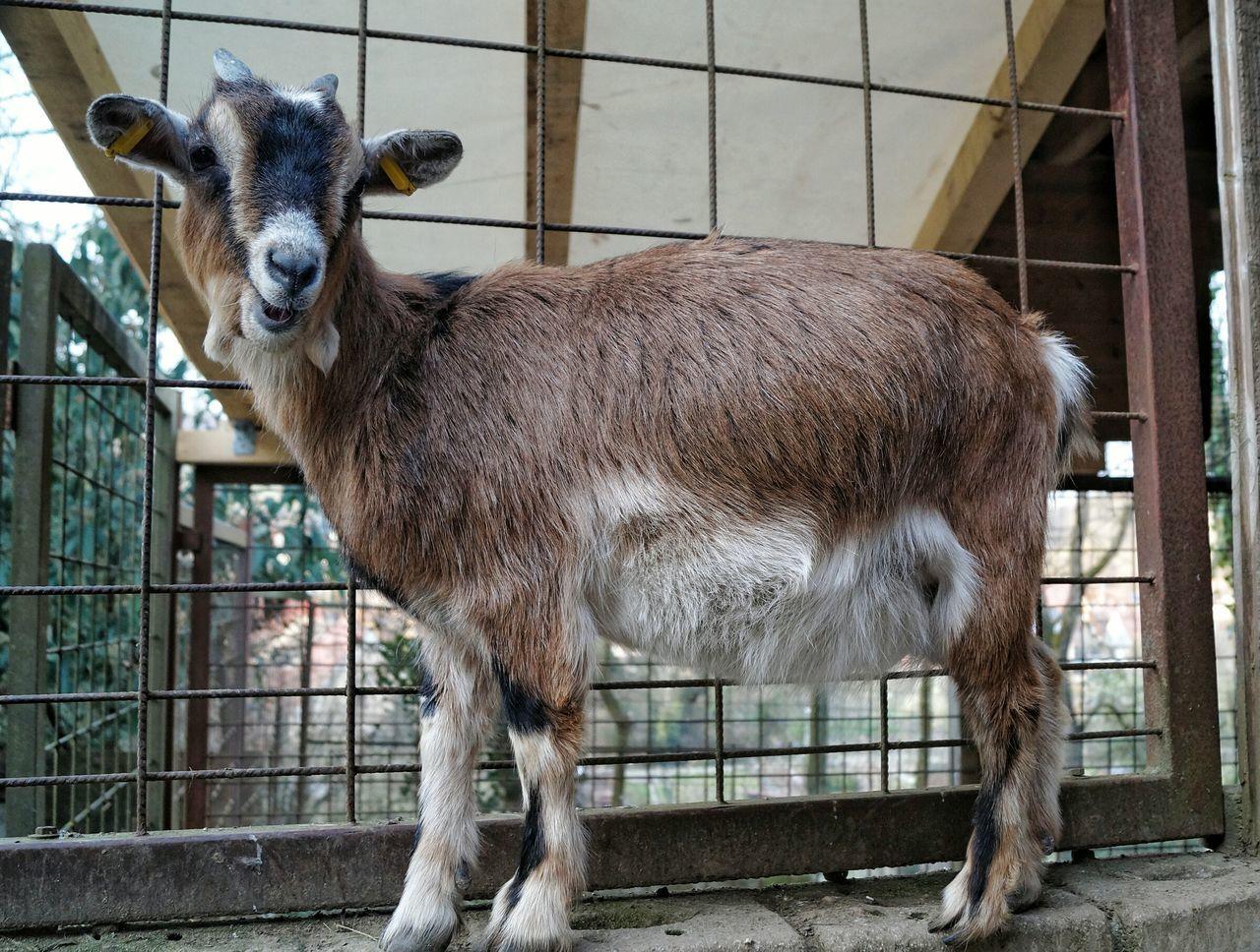 One Animal Animal Themes No People Day Outdoors Draußen Nature Vogelpark Vogel Weingarten Sony Alpha Px58 Goat Ziege
