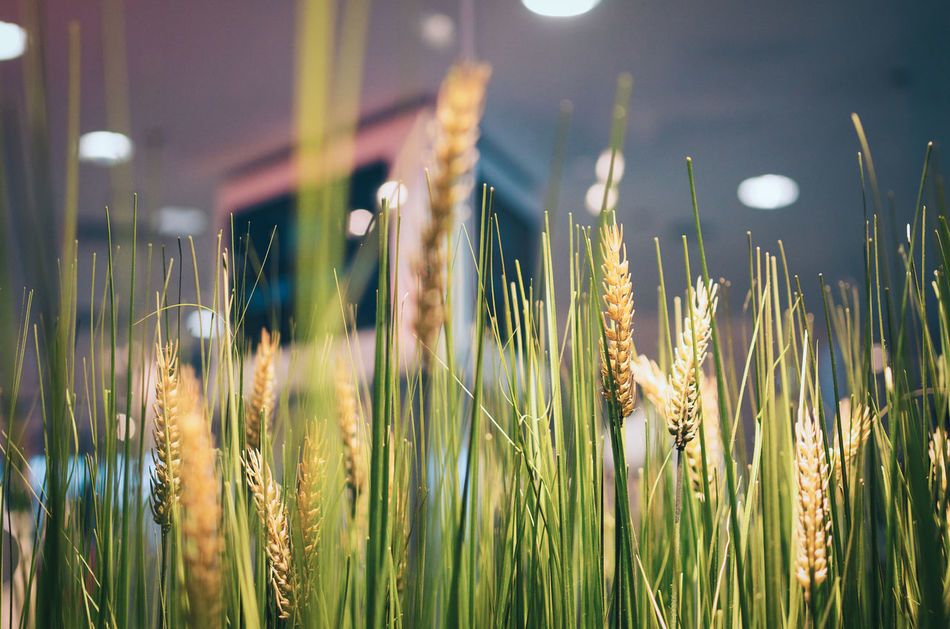 Wheat field in a shopping mall Close-up Earth Day Earthday Ecco City Field Freshness Green Color Growth Heads Of Grain Human And Nature Indoors  Interior Views Low Angle View Nature Nature And City Nature In The City No People Shop Shopping Mall Urban Wheat Wheat Field Yellow Color