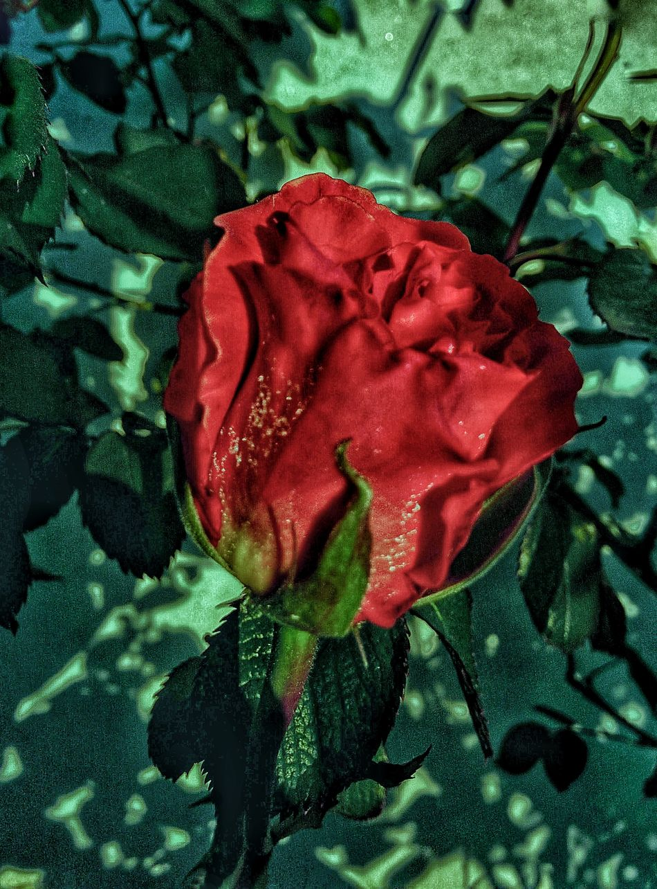 Just for you.💓 Red Flower Fragility No People Freshness Beauty In Nature Day Rose - Flower Full Frame Petal Nature Nexus5 Looking At Camera Beauty In Nature Scattimiei Seguimi Roses, Flowers, Nature, Garden, Bouquet, Love,