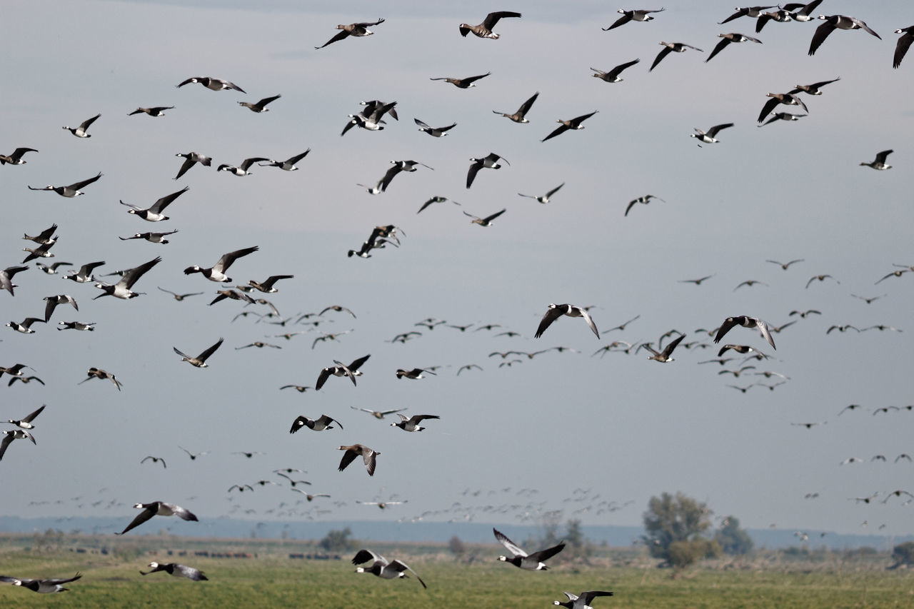Barnacle Goose Heck Cattle Oostvaardersplassen Geese Gathering At The Waters' Edge Birds In Flight Dutch Countryside