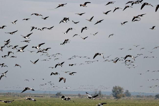 Barnacle Goose Heck Cattle Oostvaardersplassen Geese Gathering At The Waters' Edge Birds In Flight Dutch Countryside