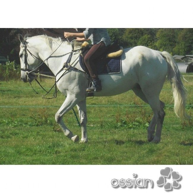 Ossian, miss you buddy. I know I'm using a Pelham bit and double reins but I didn't decide to use them. I didn't use the second set of reins and before I rode I loosened the martingale so he had free movement of his head. Yes, I also know my back is bent and my hands are high but I was trying to get him going l. ??? Ossian Andalucianx Grey Misshim roughrider