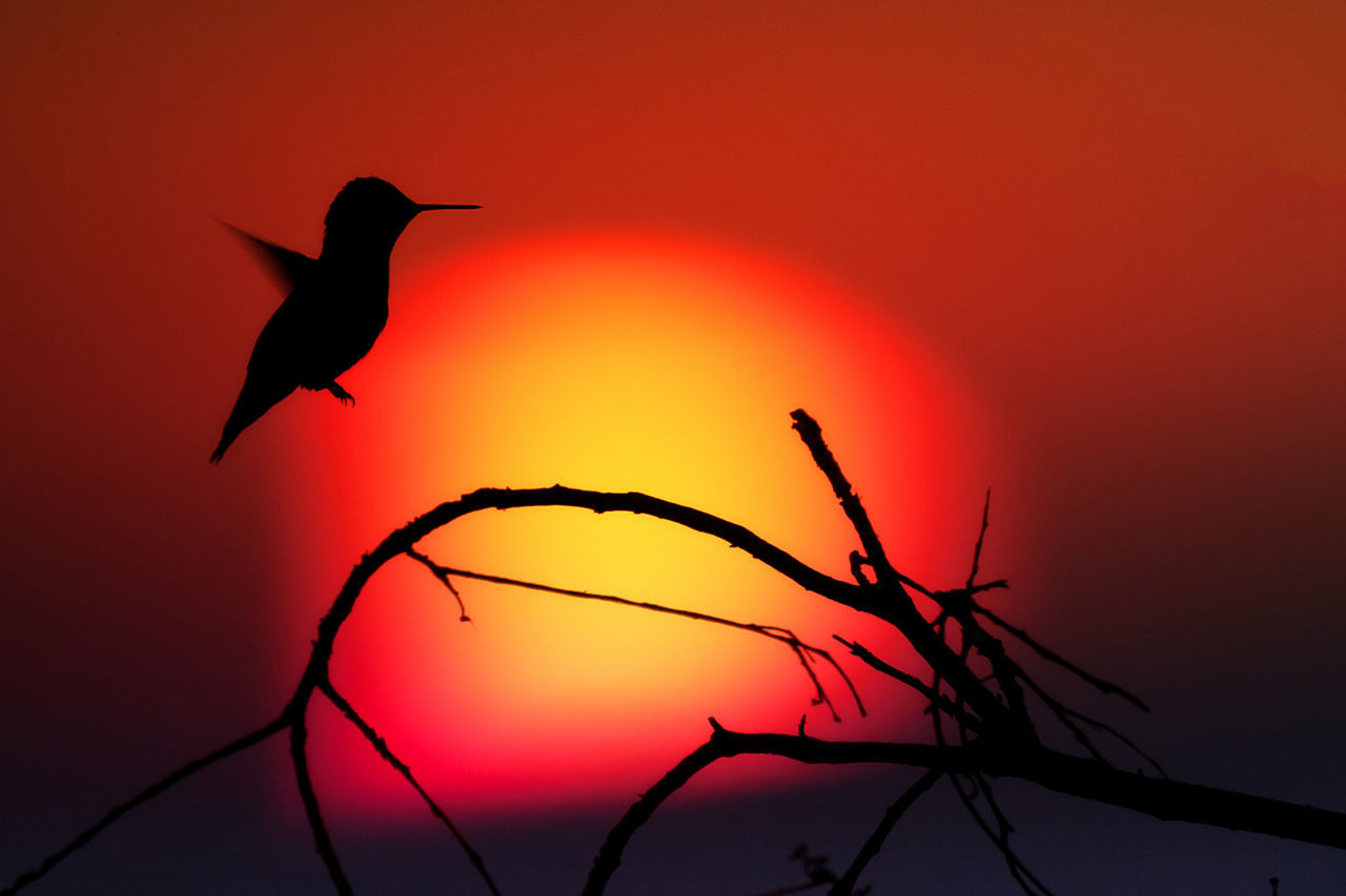 HUMMINGBIRD SILHOUETTE - sun setting into smoke filled sky 43 Golden Moments Beauty In Nature Hummingbird Los Angeles, California Outdoors Showcase July Silhouette Sunset Wildfire Colour Of Life Color Palette