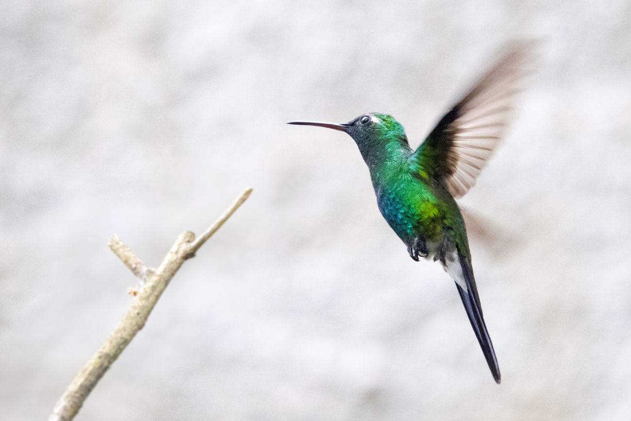 Cuban hummingbird or zunzun which is one of the smallest birds in the world. Animal Themes Animal Wildlife Animals In The Wild Beauty In Nature Bird Close-up Day Flying Hummingbird Nature No People One Animal Outdoors Spread Wings