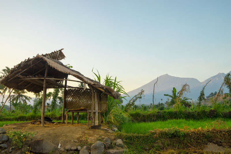 Paddy fields with Mount Rinjani as backgroud at Lombok, Indonesia. Grass Hiking Trail Holiday Holidays Hut Lombok-Indonesia Nature Photography Paddy Field Rinjani National Park Rural Scene Sunrise Tourism Tourist Attraction  Traditional Culture Tropical Climate
