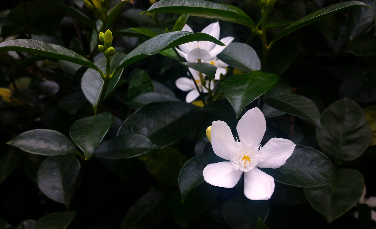 flower, petal, flower head, beauty in nature, growth, leaf, fragility, nature, freshness, plant, blooming, frangipani, no people, day, outdoors, periwinkle, close-up