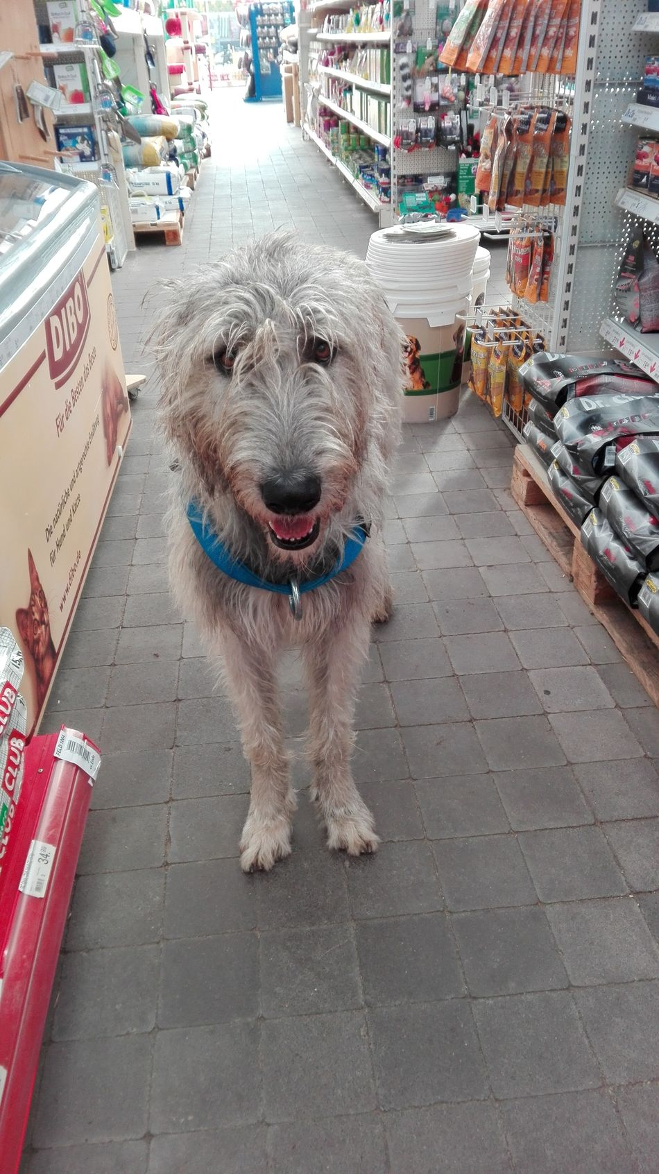 One Animal Domestic Animals Animal Themes Close-up Portrait Dogslife Dogs Of EyeEm Dogs Of Winter Cearnaigh Dog Of The Day Irish Wolfhound Winter 2017 February 2017 Pet Store Petstore Trip Dog Dog Food