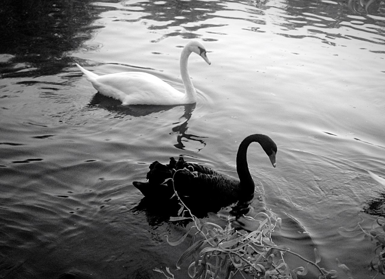 animals in the wild, animal themes, bird, water, animal wildlife, lake, swan, nature, reflection, no people, day, swimming, outdoors, togetherness, beauty in nature, black swan