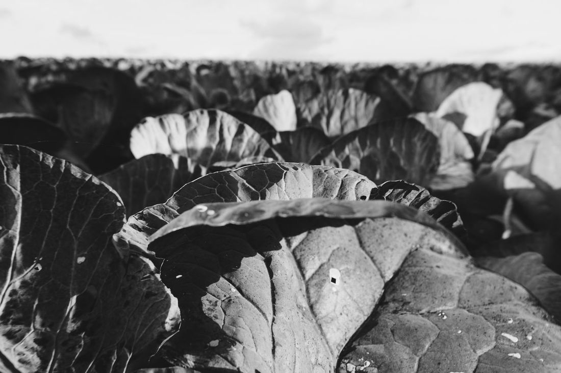cabbage field Pattern Patterns In Nature Cabbage Cabbages Field Leaf Blackandwhite Black And White Monochrome Monochrome Photography
