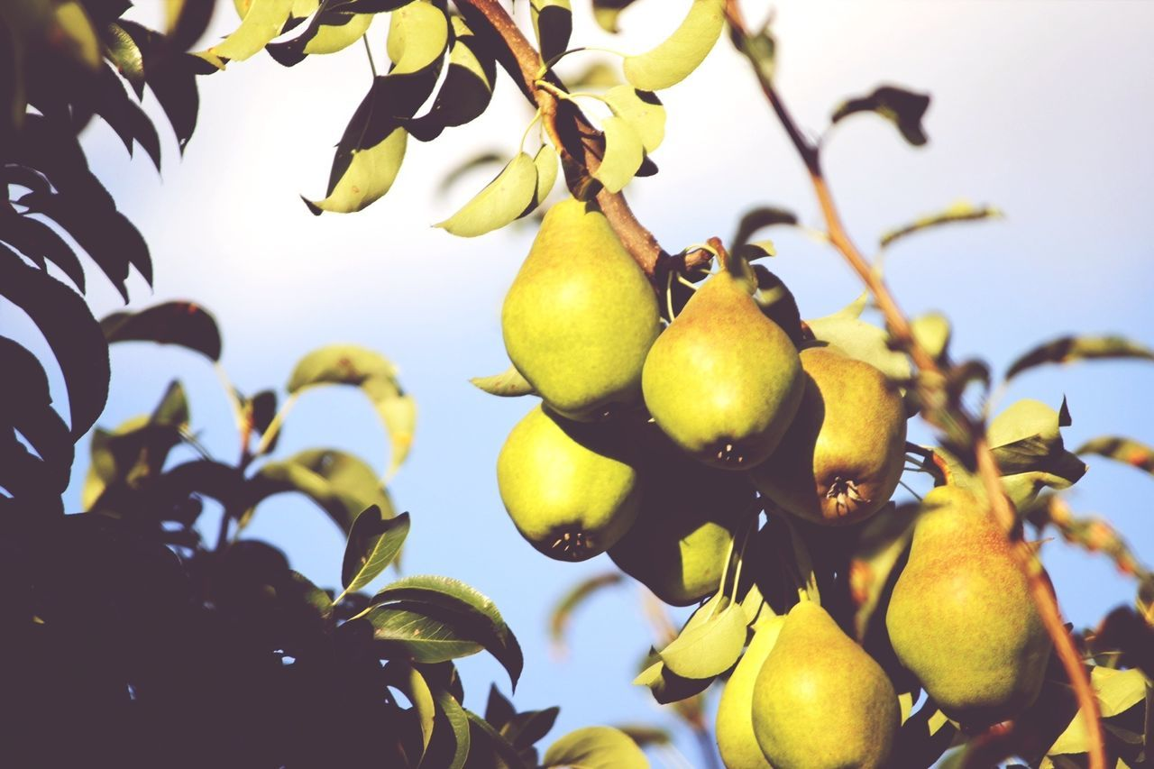 Beautiful stock photos of fruit, Branch, Close-Up, Day, Focus On Foreground