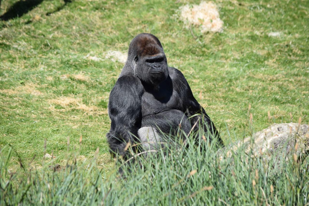 gorilla Beauval Female Gorilla Gorille Green Male Monkey Power Primate Strong Zoo