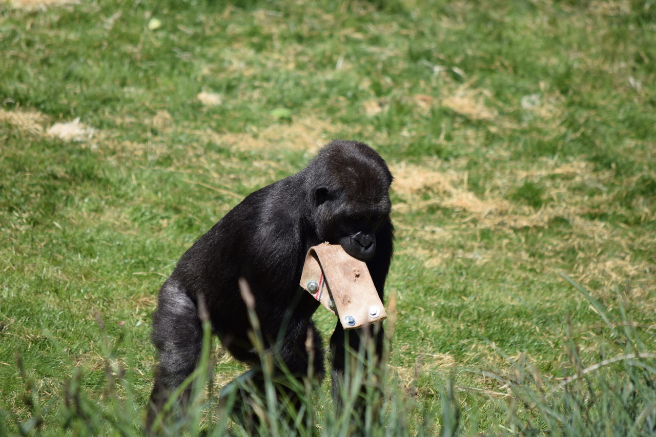 gorilla Animal Themes Beauval Black Color Black Labrador Day Dog Domestic Animals Female Field Gorilla Gorille Grass Green Male Mammal Monkey Nature No People One Animal Outdoors Pets Power Primate Strong Zoo
