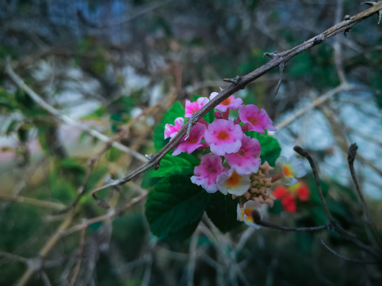 flower, nature, growth, fragility, petal, pink color, beauty in nature, plant, freshness, flower head, outdoors, no people, focus on foreground, day, blooming, close-up