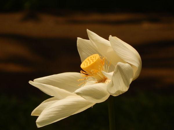 Lotusflower Nikon D3200