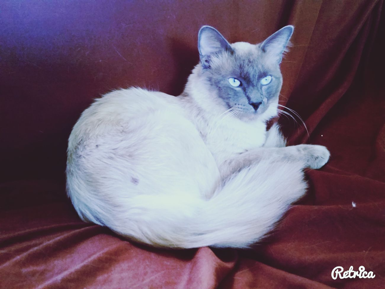 Siamese cats Riograndezacatecas RIOGRANDEZAC Zacatecas Lindo Gatito Cat