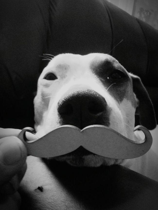 Kannela luciendo su mostacho...o bigote como mas les guste :D My Mo For Movember AmericanStafford Amstaff Amstaffstyle Pitbull Bully Staffy