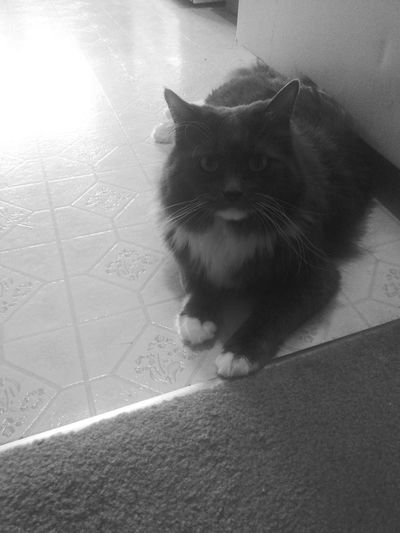 Shades Of Grey Blackandwhite Photography Taking Photos Greycat Catslover Cats 🐱 Frist Time On EyeEm Petlover Cute Pets