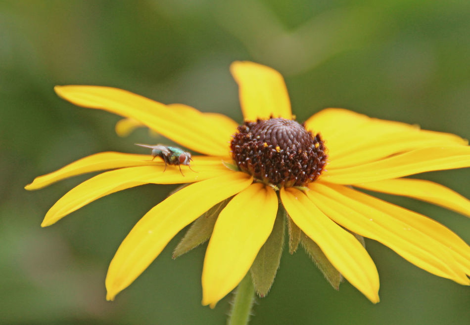 yellow Flower with a Fly Beauty In Nature Blooming Blossom Botany Flower Flower Collection Flower Head Flower Photography Flowers, Nature And Beauty Fly Insect Focus On Foreground Growth In Bloom Insect Insect Photo Insect Photography Nature Petal Plant Pollen Sonnenhut Yellow