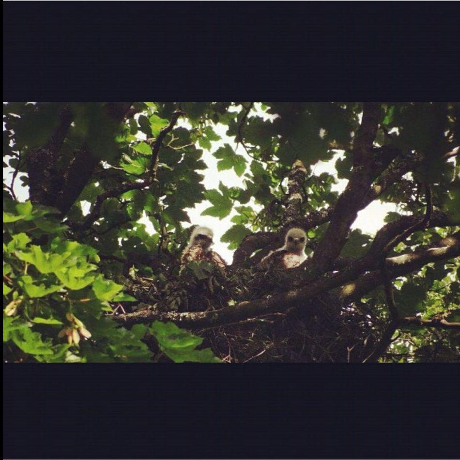 Buzzard  Buzzards Birds Bird Photography Birdwatching Bird Watching Bird Of Prey Birds Is Nest Young Buzzards Tree Trunk Tree TreePorn Birdfreaks Beauty In Nature Animal Birds_collection Birdseyeview Birds Nest Buzzard On Tree Buzzard In Nest Naturelovers Sky_collection