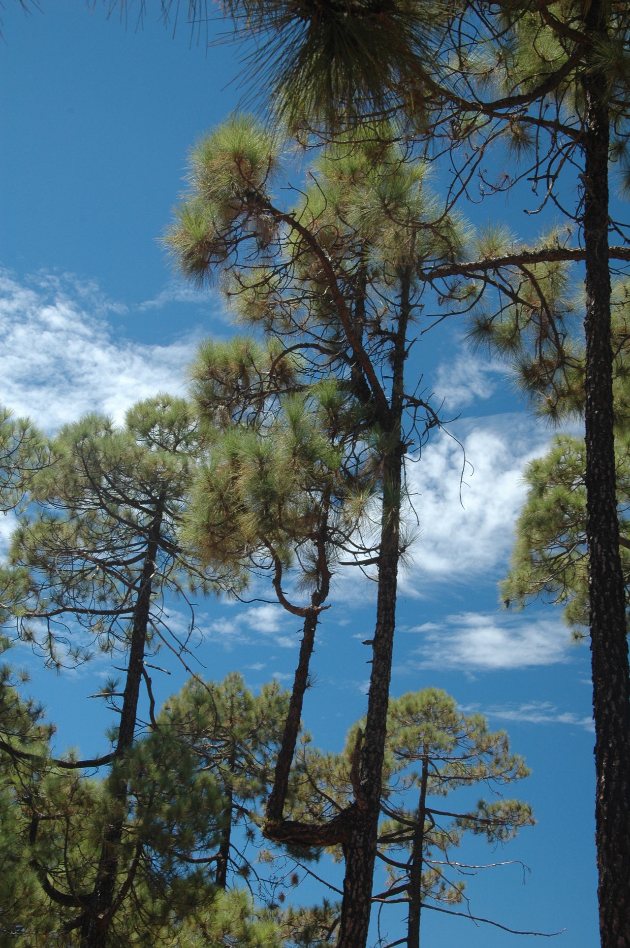 Beauty In Nature Blue Branch Canarias Canary Canary Islands Cho Tenerife Day Growth Low Angle View Mountain Nature Nature No People Outdoors Parque Nacional Del Teide Scenics Sky Teide Teide Volcano Tenerife Tranquility Tree Vulcan