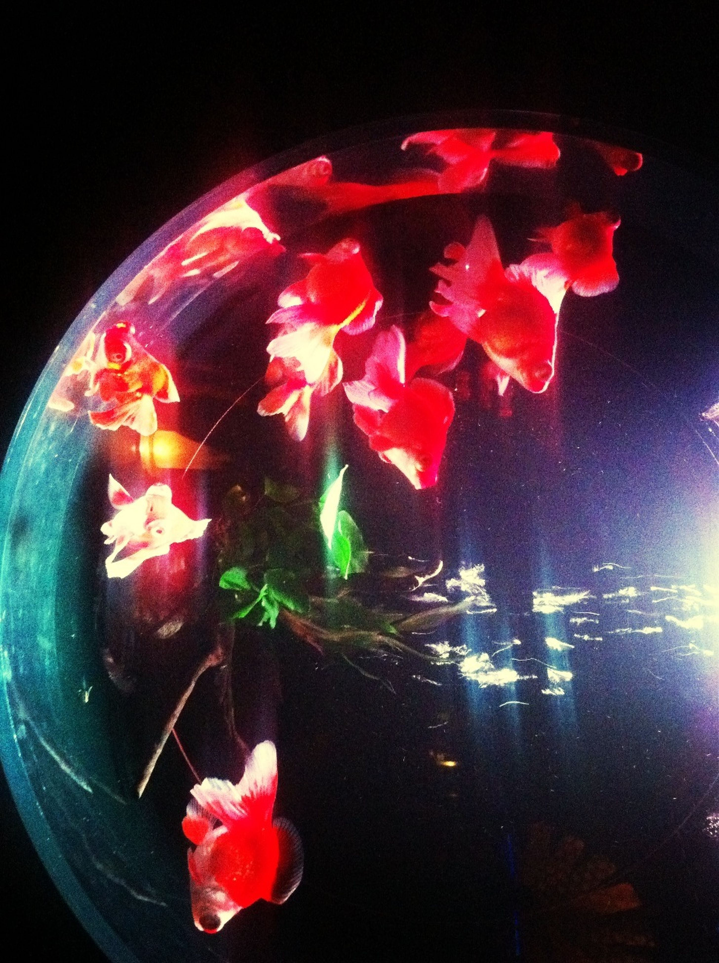 red, flower, indoors, pink color, night, close-up, fragility, freshness, petal, glass - material, high angle view, multi colored, black background, transparent, illuminated, burning, water, no people, nature, dark
