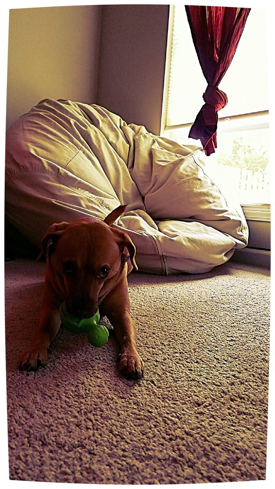 My Turtle Dog Turtle Toy Dogtoy Dogportrait Myturtle Cute Animal Themes Full Length Pets One Animal No People Happy Dogsofeyeem Ruby Puppy Canine Canine Companion Love Beanbag Window Carpet Textures And Surfaces Paws Dogface