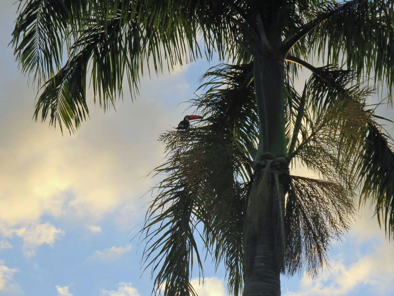 Toucan... Cloud - Sky Day No People Outdoors Palm Tree Scenics Sky Sunset Toucan Tree Tree Trunk Tropical Climate Tucan Tucano Vacations