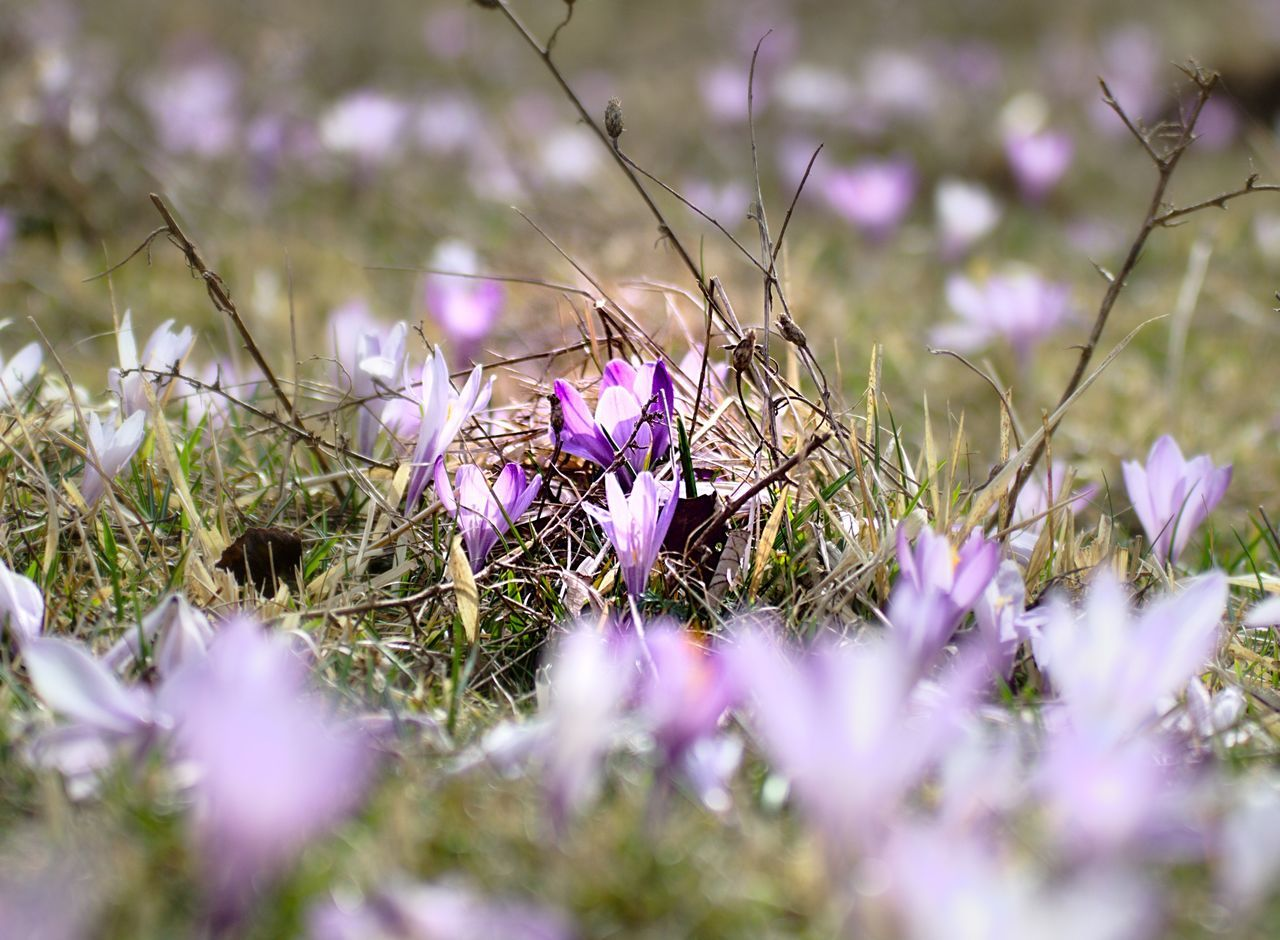 flower, purple, selective focus, fragility, nature, growth, beauty in nature, crocus, petal, no people, plant, flower head, day, outdoors, freshness, close-up, grass, blooming, animal themes, snowdrop
