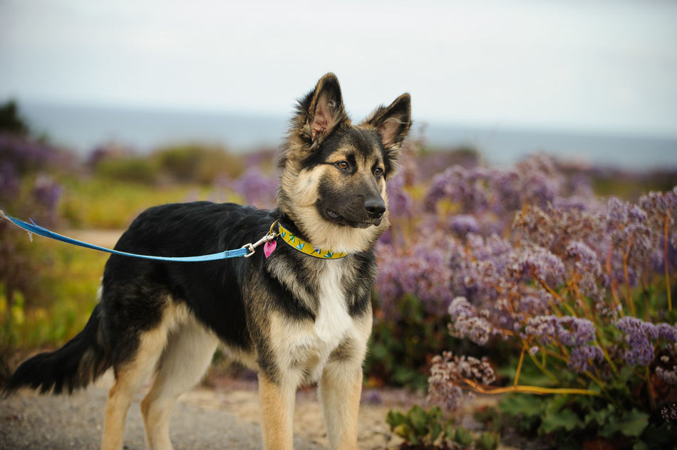 Mixed breed dog Animal Themes Canine Dog Domestic Animals Flowers Leashed Mix Mix Breed Mutt No People Pet Puppy Shepherd
