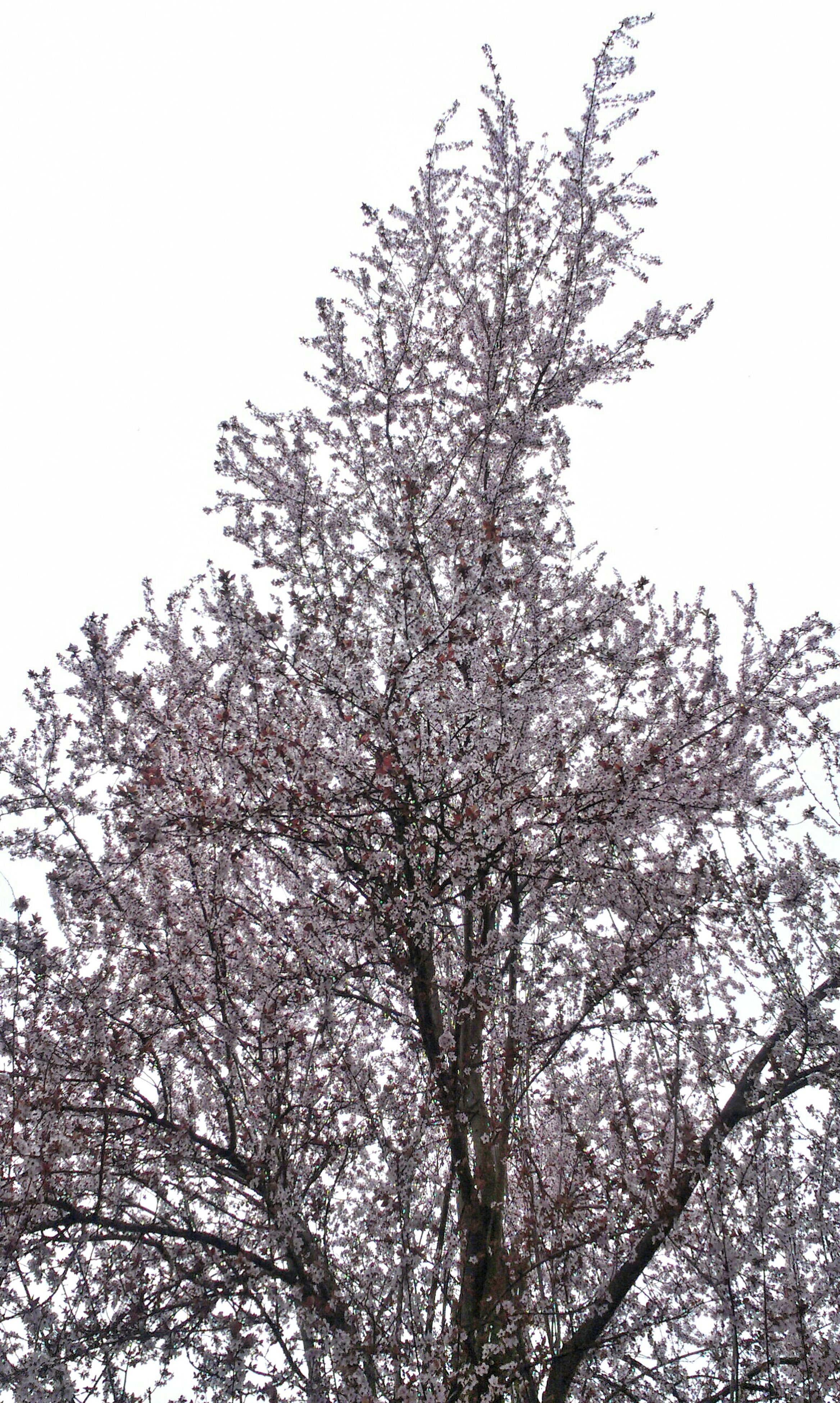 low angle view, branch, tree, clear sky, growth, nature, beauty in nature, flower, bare tree, sky, day, outdoors, no people, high section, fragility, cherry blossom, cherry tree, blossom, tranquility, freshness