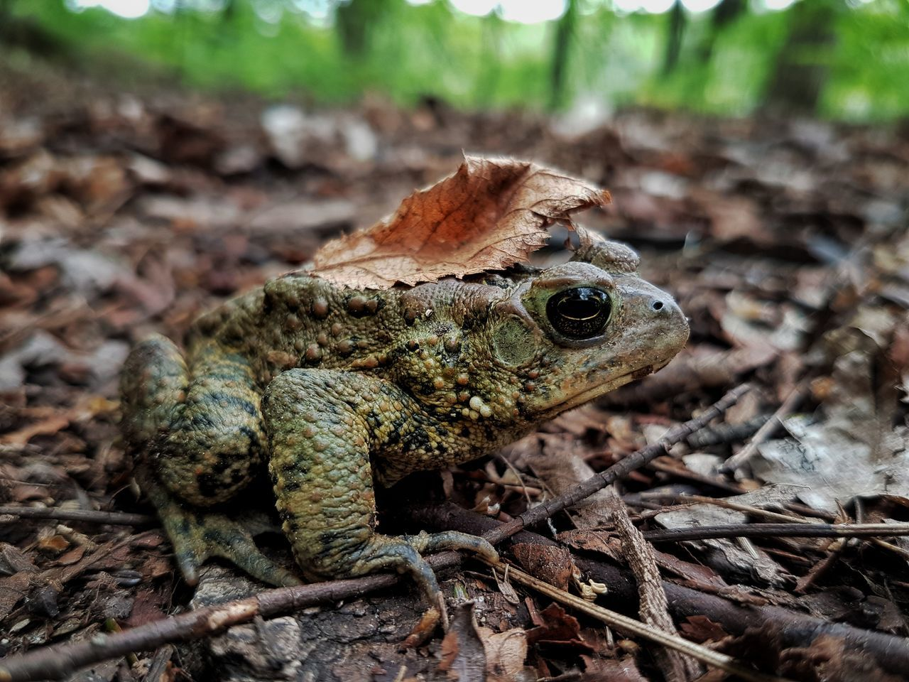 Camouflaged toad Nature Reptile Outdoors Close-up One Animal Animals In The Wild Animal Wildlife Toad Toad Life Toad Plant Toads