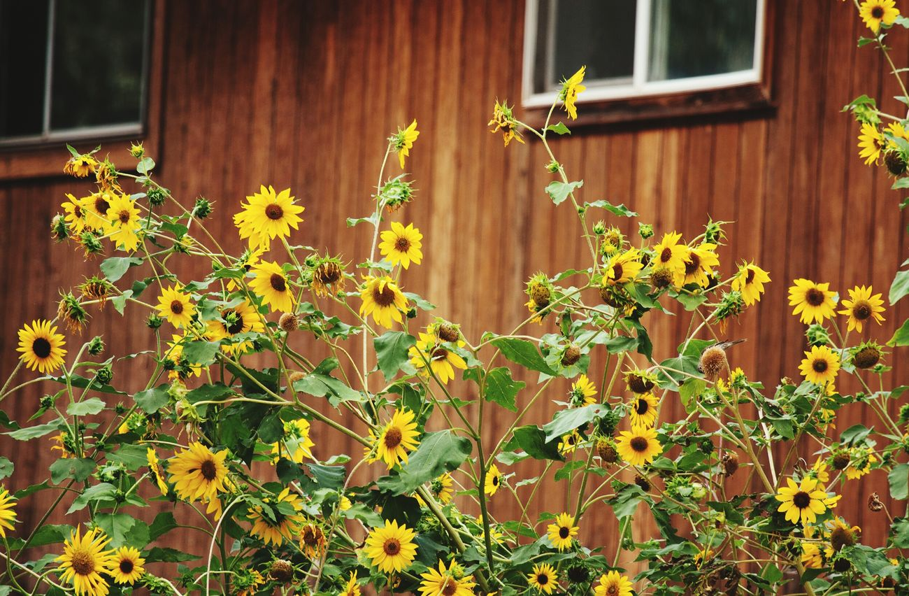Flowers In My Garden Sunflowerlovers Rural Scenes Rural America Yellow Flowers Summertime Sunflowers Garden Nature Flowers Beautiful Flowers Country Living Country Life Country Lane Sunflowerpatch Sunflowersociety Flowers For My Friends I Hope My Pictures Touch Your Hart Canon At Home Home Sweet Home