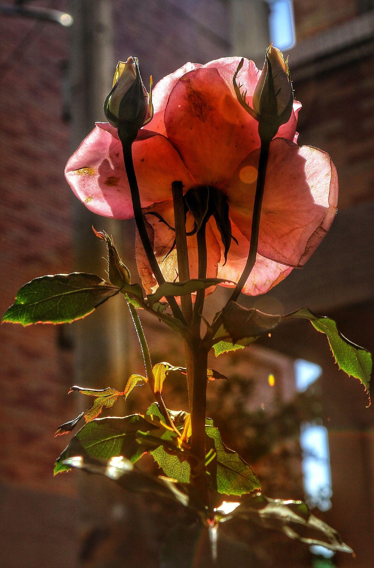 My Garden My Garden @my Home Roses Pink Rose Day Light Flowers Flowers,Plants & Garden Daydreaming