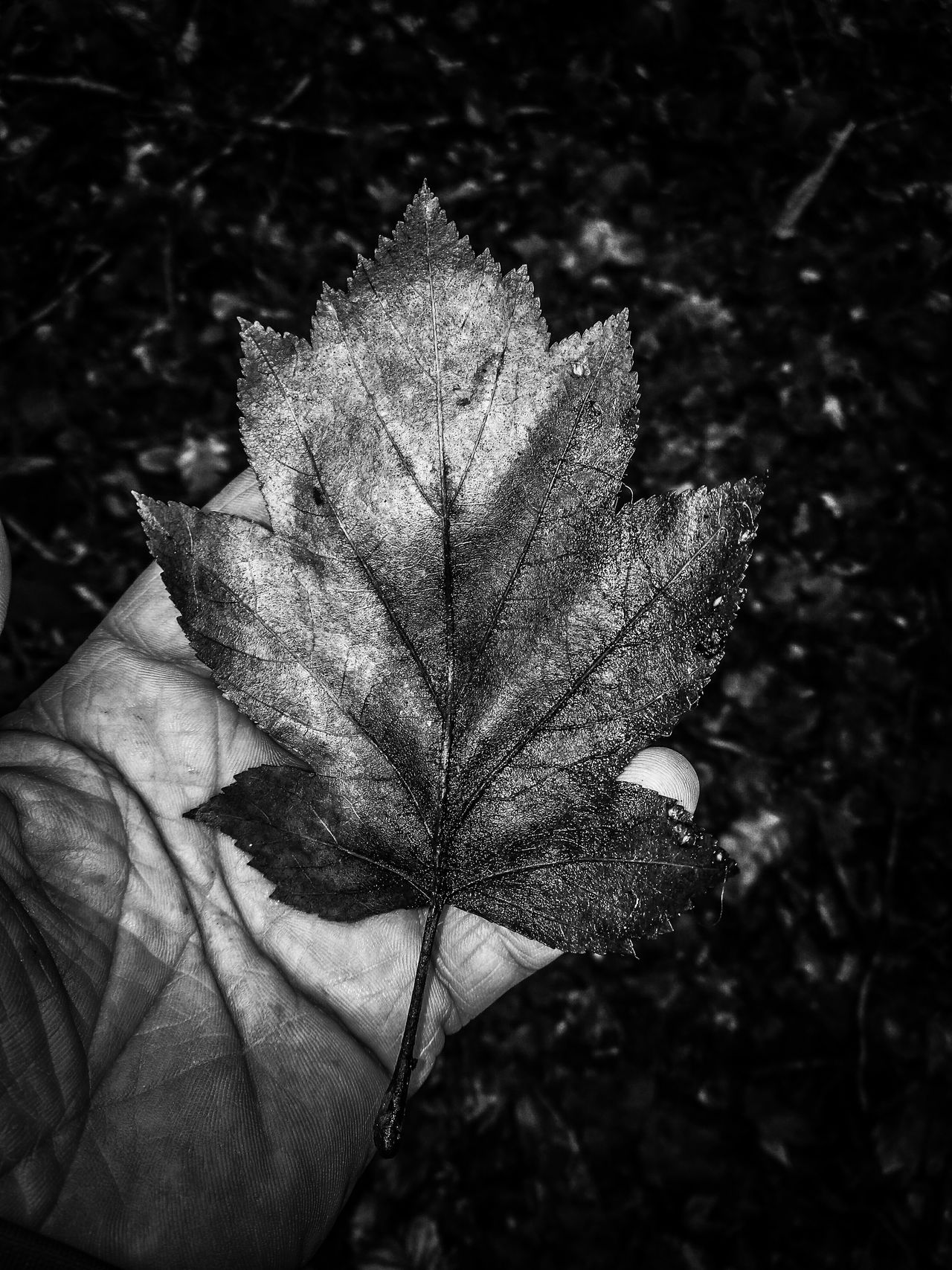 Nature Plant Fragility Beauty In Nature Close-up Leaf Leaf Vein Outdoors Woodlands Blackandwhite Photography Hand Dead Leaf Tree Day Hand Print Textured Skin Leaf Texture