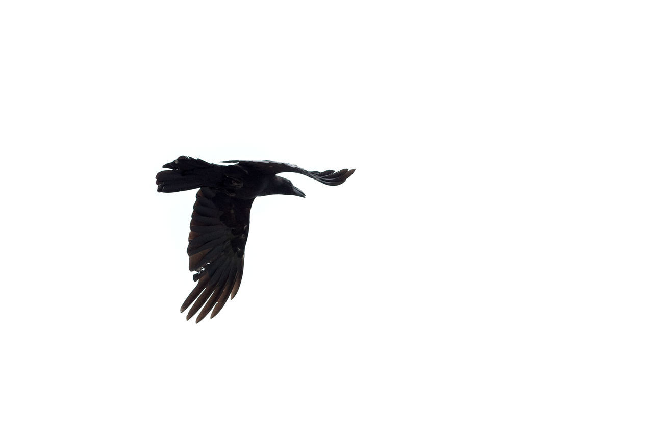 Raven in flight. Japan. Animal Themes Animal Wildlife Animals In The Wild Bird Bird Of Prey Bird Photography Birds In Flight Birds Of EyeEm  Birds_collection Birds🐦⛅ Clear Sky Copy Space Crow Day Flight Flying Low Angle View Nature No People One Animal Outdoors Raven Raven - Bird Spread Wings
