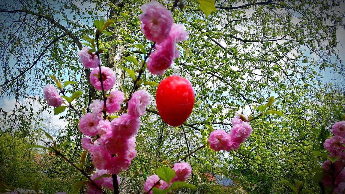 Red Easteregg on branch Nature Beauty In Nature Plant Tree Low Angle View No People Outdoors Day Flower Freshness Sky Branch Close-up Fragility Multi Colored Green Color Sunlight Pink Color Easteregg Easter Eggs Hanging Easter Decoration Colorful Eggs Art Germany
