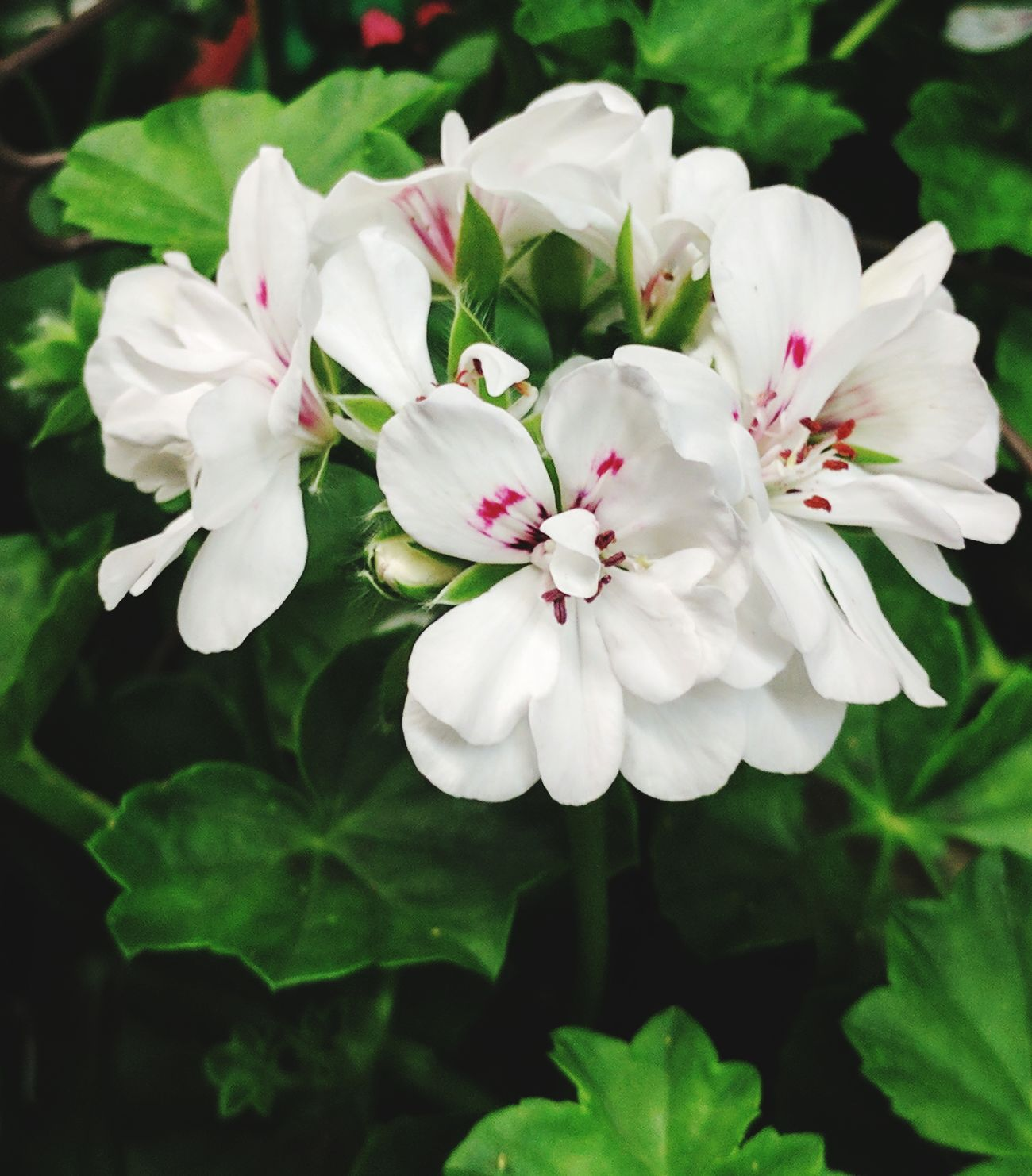 Geranium Flowers Flower Flower Head Petal Freshness Fragility Close-up Blossom No People Plant Springtime Love Of Flowers White And Pink Flowers Green Color Blooming Beauty In Nature Leaf