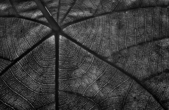 Leaf texture for background in black and white low key photography. Backgrounds Black And White Botany Close-up Extreme Close Up Fragility Green Leaf Vein Low Key Lighting Low Key Photography Nature No People Pattern Plant Repetition Season  Structure Textured  Wallpaper Yellow