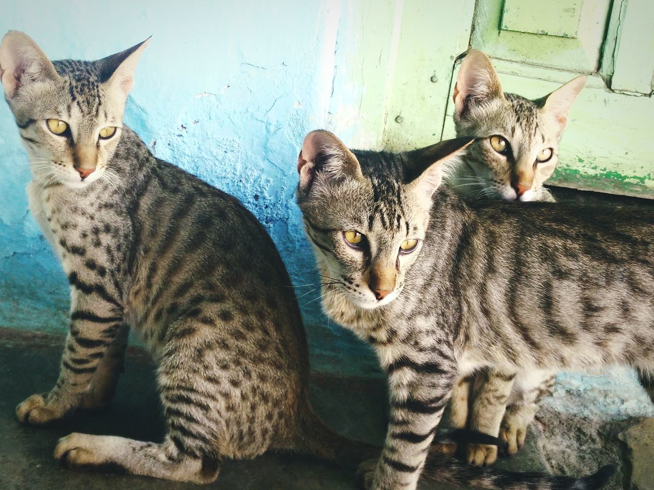 Threecats kitty cats eyeemnewhere Domestic Cat Domestic Animals Animal Themes Mammal Feline Pets Cat Young Animal Day No People Togetherness Tabby Indoors