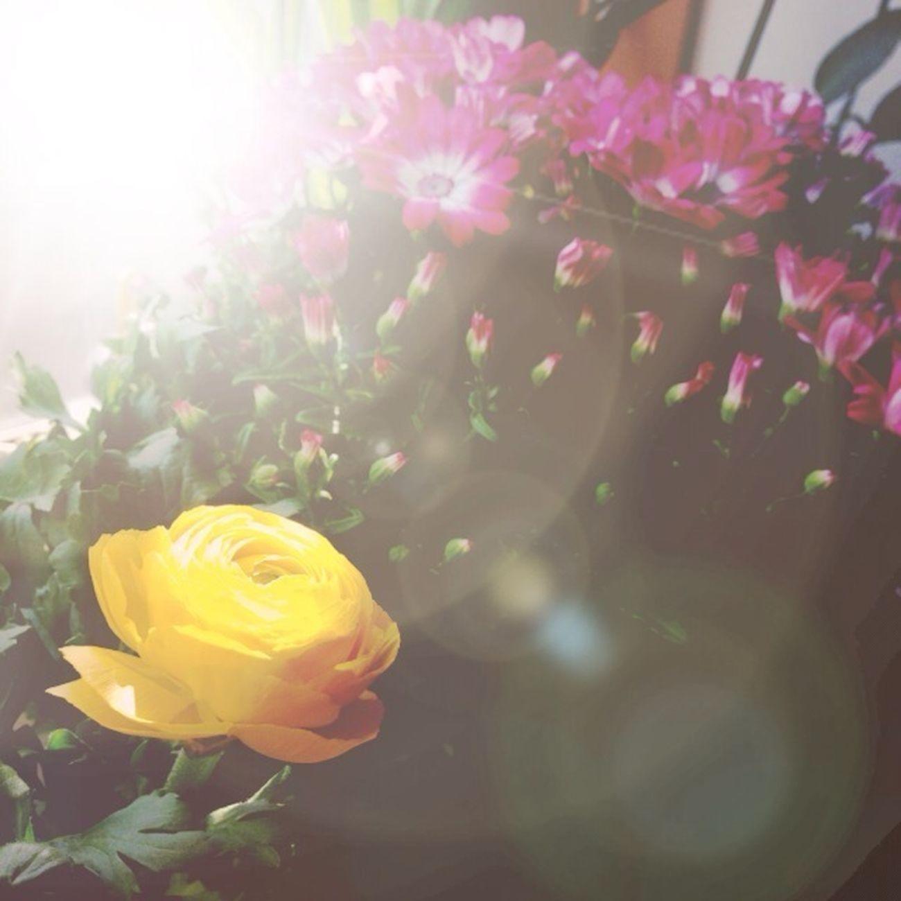 Flowers Ranunculus Cineraria