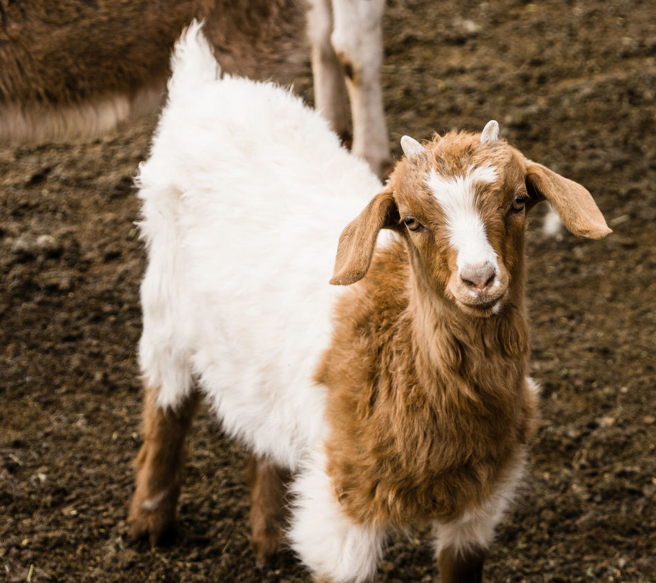 Beautiful stock photos of goat, Animal Pen, Animal Themes, Day, Domestic Animals