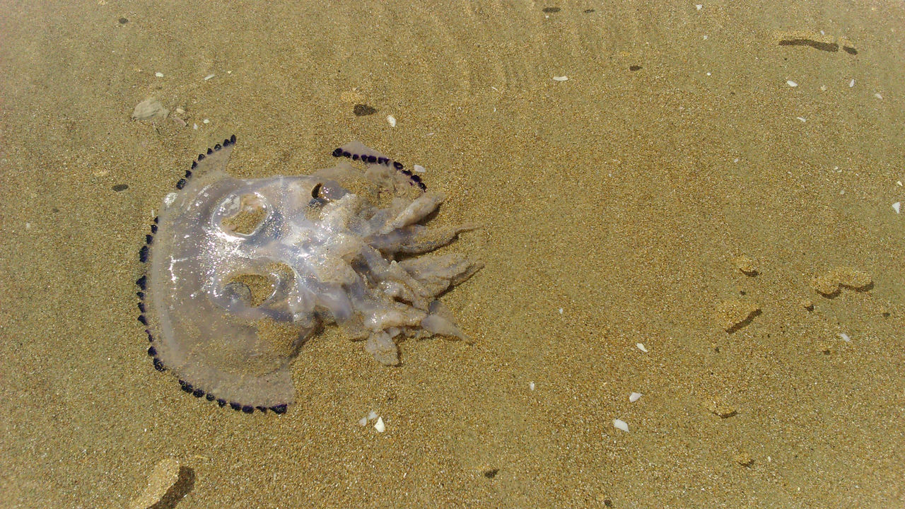 Animal Themes Beach Close-up Dead Animal High Angle View Jellyfish Nature No People Sand Sea Life Shore