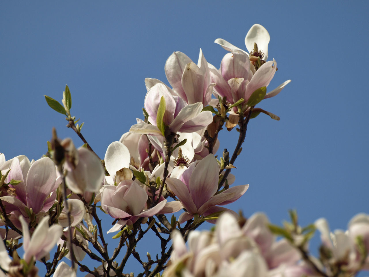 Beautiful stock photos of magnolia, Beauty In Nature, Blossom, Botany, Branch