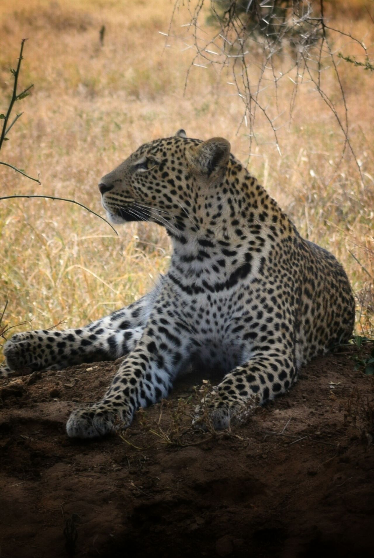 Beautiful stock photos of leopard, Animal Markings, Animal Themes, Animals In The Wild, Beauty In Nature